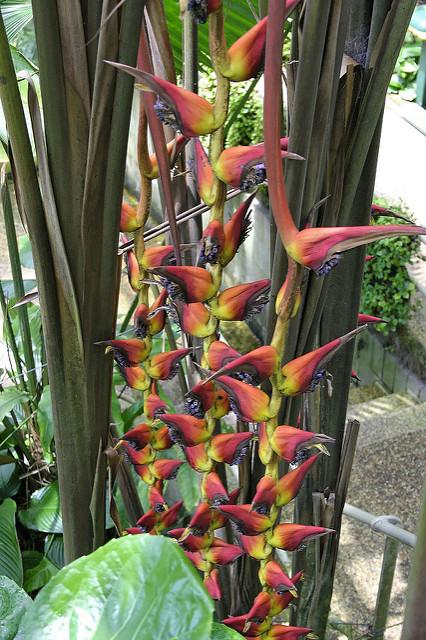 Heliconia pogonantha var. pogonantha 070127-2835